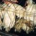Thumbnail image for Egg McCruelty