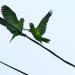 Thumbnail image for The squabbles of OB parrots