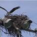 Thumbnail image for The Osprey Family of Ocean Beach