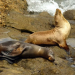Thumbnail image for What's Your Solution to the La Jolla Seals? – Here's mine: Bring the seals to OB