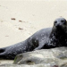 """Thumbnail image for Judge Delays Removal of La Jolla Seals – Could be """"turning point"""""""