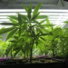 Thumbnail image for Two Local OBceans on Medical Marijuana Task Force
