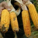 Thumbnail image for Monsanto's genetically modified corn linked to organ failure