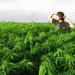 Thumbnail image for California marijuana legalization battle heats up