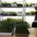 Thumbnail image for Oakland approves marijuana farming