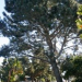 Thumbnail image for OB Rag and City agree to delay any trimming or cutting of Long Branch Torrey Pine until Planning Board meeting on issue.