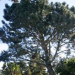 Thumbnail image for The Torrey Pines of Ocean Beach