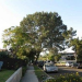 Thumbnail image for Save a healthy Torrey Pine – Come to tonight's Planning Board meeting.