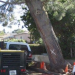 Thumbnail image for Arborist's Report on Long Branch Torrey Pine: It's Healthy and Stable