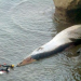 Thumbnail image for Point Loma Whale Being Towed to Fiesta Island