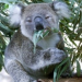 Thumbnail image for Dumanis to prosecute Zoo koalas for dealing eucalyptus