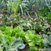 Thumbnail image for Garden Blogging: Bucking Conventional (Organic) Wisdom