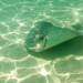 Thumbnail image for Watch Out for Stingrays – Increase Seen in Local Waters