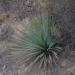 Thumbnail image for Native American Skills: Making Rope Out of Agave or Yucca