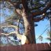 Thumbnail image for Neighbor Dispute In OB Over Backyard Torrey Pine Resolved