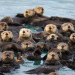 Thumbnail image for California Sea Otters Are Coming Back